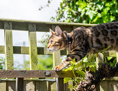 Along the Fence (Shastajak) Tags: fencefriday fence mygarden xojo bengal kitten girl hernameisaprogramminglanquage pronouncedzojo 8monthsold littledoglaughedstories