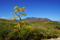 Riesenfenchel (Mariandl48) Tags: riesenfenchel sizilien landschaft