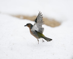 A9_02432 (msmedsru) Tags: kuusamo finland oulanka spring snow flight action chaffinch