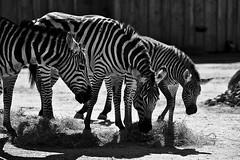 Zebras (Gerald Lang) Tags: sonyalpha7ii sonya7ii schwarzweis noiretblanc blackwhite blackandwhite bw monochrome einfarbig tiere animals zookarlsruhe sonyilce7m2 import20042019 zebras