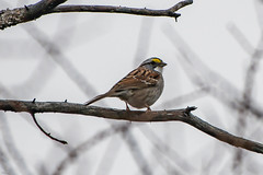 White-throated Sparrow , Bidgood's Park (frank.king2014) Tags: whitethroatedsparrow stjohns newfoundlandandlabrador canada