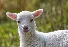 Spring Lamb portrait (Margaret S.S) Tags: spring lamb