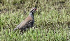 Red legged partridge (Lancs & Lakes Outback Adventure Wildlife Safaris) Tags: nikon d7200 sigma 150600mm stannes lythammoss fylde field partridge game redleggedpartridge gamebird contemporary