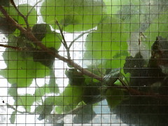 ivy (vertblu) Tags: ivy leaves ivyleaves green behindglass glass glasspane throughglass lookingthrough wiredglass wireglass squared squares vertblu vert lines linien crossinglines backlit backlight contrejour