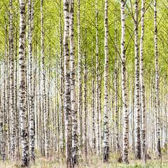 Örsundsbro, April 27, 2019 (Ulf Bodin) Tags: örsundsbro uppsalalän sverige canoneosr birch björk tree sweden canonef100400mmf4556lisiiusm outdoor spring uppland lines patterns