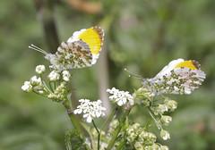 Orange-tip Butterflies (Prank F) Tags: wicksteedpark kettering northantsuk wildlife nature insect macro closeup butterfly orangetip male