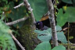 FB 20150115 Small Grckle-8458 (louiep_himself) Tags: 02feb 2014 birds commongrackle dates gtlnd grackles juvenile month nature