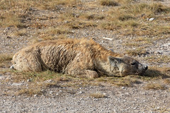 TGIF (Jill Clardy) Tags: africa amboseli animal hyena kenya mammal national vantagetravel park safari 201902179l8a6782 flat flattened location kajiado riftvalleyprovince game drive