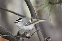 IF the crown fits.... (Laura Rowan) Tags: kinglet bird birding elmhurst goldencrownkinglet spring migration