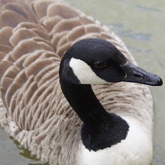 Canada Goose (the.sullivan) Tags: cnadagoose branta canadensis goose honk olympus m43