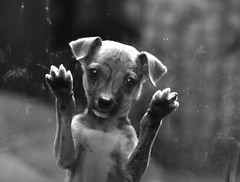 Kagashi-K, Santiago de Chile (Mario Rivera Cayupi) Tags: canon80d bw blancoynegro blackwhite arte art santiagodechile perro dog mascota animales mirada animals