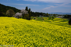 _DSC4961.jpg (takakatoh) Tags: 安曇野 絶景 自然 flowers nature flower 山 菜の花 日本 花農村 japan