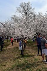 DSC_0116-61 (jjldickinson) Tags: nikond3300 109d3300 nikon1855mmf3556gvriiafsdxnikkor promaster52mmdigitalhdprotectionfilter washingtondc cherry tree flower bloom blossom