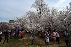 DSC_0115-61 (jjldickinson) Tags: nikond3300 109d3300 nikon1855mmf3556gvriiafsdxnikkor promaster52mmdigitalhdprotectionfilter washingtondc cherry tree flower bloom blossom