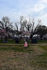DSC_0113-61 (jjldickinson) Tags: nikond3300 109d3300 nikon1855mmf3556gvriiafsdxnikkor promaster52mmdigitalhdprotectionfilter washingtondc cherry tree flower bloom blossom