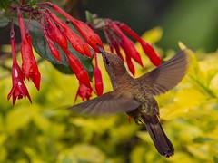 Bronzy Inca hummingbird sipping nectar from Fuchsia magellanica (PriscillaBurcher) Tags: trochilidae colibríesdecolombia hummingbirdsfromcolombia coeligenacoeligena bronzyinca colibríincabronceado picaflor chupaflor laceja colombia priscillaburcher dsc0253