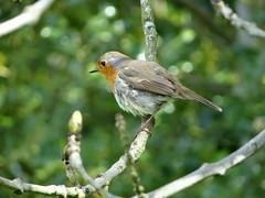 Robin (Ian Robin Jackson) Tags: robin bird scotland nature wildlife zeiss sony outside