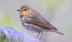 Swainson's thrush at Cardinal Marsh IA 653A7862 (naturalist@winneshiekwild.com) Tags: swainsons thrush cardinal marsh winneshiek county iowa larry reis
