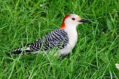 Female Red-bellied Woodpecker (Anne Ahearne) Tags: wild bird animal nature wildlife beautifulbird woodpecker redbelliedwoodpecker grass birdwatching