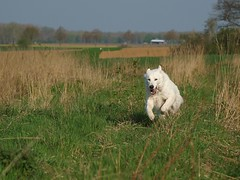 Filou in Aktion (ISOZPHOTO) Tags: isoz isozphoto filou hund dog chien rheinland nrw olympus zuiko fourthirds 50200 2019 brilliant fantastic beautiful composition superb gorgeous cane perro inu chiot sobaka hond hundar vierbeiner hundefotografie dogphotography fellnase pet haustier doginlandscape dogaction action zuiko50200