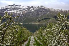 Hardanger 2019-2 (FotoRoar2013) Tags: fotoroar2013 2019 canon 5dmk3 farger fjord flower atmosfære atmosphere atmosfera atmosphère norway norwegen noruega norge norvegia nature natur norwege norvege hardanger
