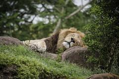 Male Lion (Greg Larro Photography) Tags: photography photograph photo art male lion cat kitty big fur wildlife wild african africa animal mammal predator feline