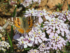 Painted Lady on Candytuft. (Vitaly Giragosov) Tags: paintedlady insect butterfly vanessacardui rf crimea sevastopol насекомые бабочка репейница рф