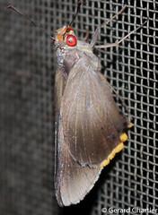 Matapa cresta (Fringed Redeye) (GeeC) Tags: tatai matapa cambodia kohkongprovince animalia nature hesperiinae lepidoptera hesperioidea matapacresta insecta arthropoda plastingiagroup hesperiidae butterfliesmoths fringedredeye skipperbutterflies