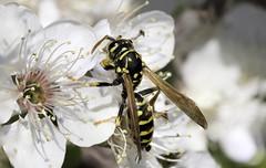 Wespe (stefanendres) Tags: kirschbaum blüte insekt insekten stefan endres kleinrinderfeld 760d canon eos fokus fokusstacking stacking wespe de