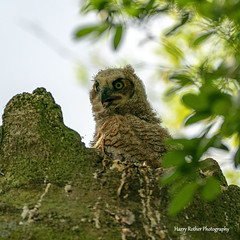 Baby Great Horned Owl (Harry Rother) Tags: animal bird owl great horned disney owlet