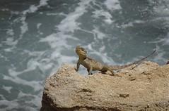 Starred Agama Lizard (stourton) Tags: starred agama lizard laudakia stellio cypriaca fig tree bay protaras cyprus