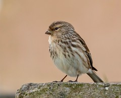 Twite (haroldmoses) Tags: 2y3a07561 flickrbirds
