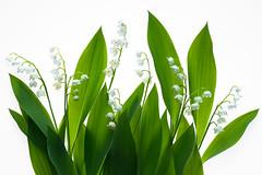 Lily of the valley (de_frakke) Tags: flower bloem wit white convallaria meiklokje parfum giftig natuur bos forest
