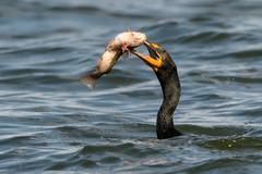 Punctured (PeterBrannon) Tags: bird catfish circlebbarreserve doublecrestedcormorant fish florida nature phalacrocoraxauritus seabird water wildlife blood