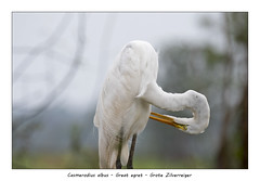 Great egret (Jan H. Boer, Nature photographer) Tags: casmerodiusalbus greategret grotezilverreiger birds herons largewaterbirds nature wildlife art costarica loschiles nikon d500 afsnikkor200500f56eedvr jan´sphotostream2019