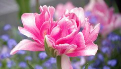 Shades of Pink (Violet aka vbd) Tags: pentax k1ii k1markii hdpentaxda55300mmf4563edplmwrre germany flower vbd tulip badhomburgvorderhöhe handheld bokeh manualexposure 2019 spring2019 hessen
