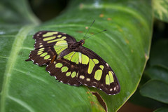 Butterfly (Polverina) Tags: butterfly butterflies farfalla mariposa natura nature animali animals insect insects insetti insetto colori colors naturaleza colores green verde ecologia bellezza beauty