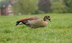 Portrait of an Egyptian Goose (Lux Aeterna - Eternal Light) Tags: portrait goose