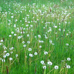 blowball meadow (vertblu) Tags: dandelion blowball dandelionseedheads meadow springmeadow may spring springtime dandelionclock green greenwhite vert vertblu grasses grass grün shadesofgreen floral seedheads bsquare 500x500 kwadrat oldfashioned
