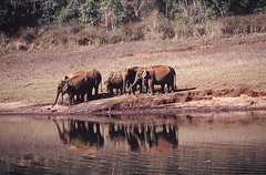 Asian elephants, Periyar National Park, Kerala, India (inyathi) Tags: asia india kerala periyarlake periyarnationalpark asianwildlife indianwildlife indiananimals asianelephant elephasmaximus elephasmaximusindicus reflections lakes elephants