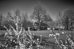 blossoms with the sheep (Jos Mecklenfeld) Tags: sonya6000 sonyilce6000 sonyepz1650mm selp1650 westerwolde niederlande nederland sheep schafe schapen spring frühling lente bw terapel groningen netherlands