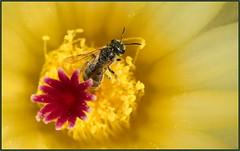 Halictus, Gathering (tdlucas5000) Tags: bee tinybee halictidae halictus cactus cactusflowers flower flowercentermacro macro closeup yellow red yellowflowers d850 sigma105 california spring