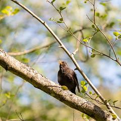 Koltrast | Common Blackbird (diesmali) Tags: koltrast commonblackbird blackbird bird tree singer spring canoneosr branch green nature animal canonef70200mmf4lisusm