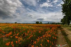 Escolzia (Stefano Nocentini) Tags: natura naturalistica campagna toscana italia italy landscape agricoltura bio biologica nikon d850 1635 f4 primavera