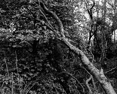 Hyons Wood, Walker Titan SF with Rodenstock Sironar N 150mm Lens, 1/30 sec @ F32, HP5+ in Ultrafin (Jonathan Carr) Tags: tree hyonswood ancient woodland landscape leaves rural northeast 4x5 5x4 largeformat bw blackandwhite monochrome