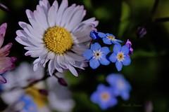 Pâquerette & myosotis - Daisy & Forget-Me-Not (Mireille L.) Tags: macrophotography printemps spring fleurs flowers pâquerette daisy myosotis forgetmenot