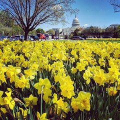 daffodil fields (ekelly80) Tags: dc washingtondc april2019 spring flowers capitol view yellow daffodils dome