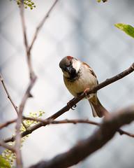 House Sparrow (Male) - IMG_4810 - Edited (406highlander) Tags: housesparrow sparrow passerdomesticus bird animal wildlife avian canoneos6d aberdeen scotland sigma120400mmf4556apodgos branch tree leaf