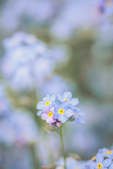 Forget-me-not (stephen.darlington) Tags: flora flower forgetmenot myosotissylvatica plant bushypark london nature blue pink spring closeup