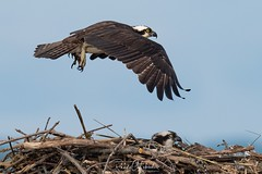 Osprey of the Jersey Shore | 2019 - 5 (RGL_Photography) Tags: wildlifephotography wildlife unitedstates us seahawk sandyhook raptors pandionhaliaetus osprey nikond5 nikonafs600mmf4gedvr newjersey monmouthcounty jerseyshore gatewaynationalrecreationarea gardenstate fishhawk fisheagle birdwatching birdsofprey birds birding ©2019rglphotography bif birdsinflight